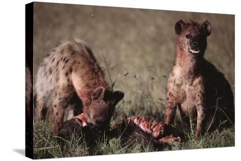 Spotted Hyenas Feeding on Carcass-DLILLC-Stretched Canvas Print