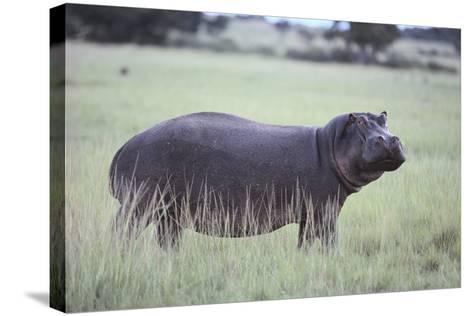Hippopotamus in the Savanna Grass-DLILLC-Stretched Canvas Print