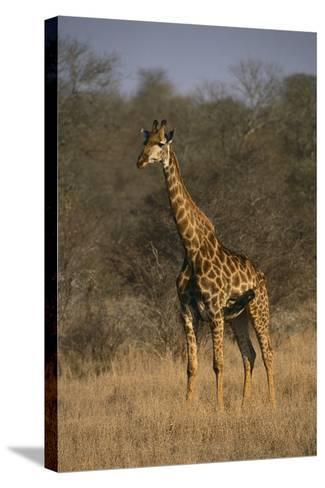 Giraffe-DLILLC-Stretched Canvas Print