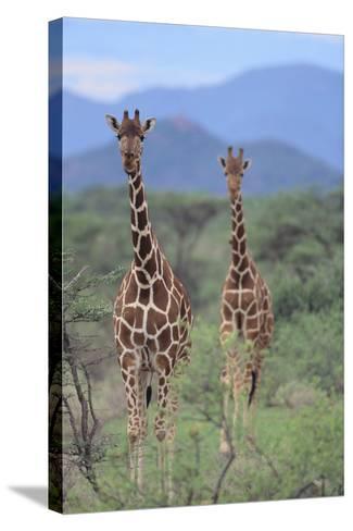 Two Giraffes Walking through the Bush-DLILLC-Stretched Canvas Print