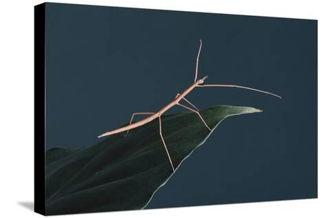 Stick Insect on Leaf-DLILLC-Stretched Canvas Print