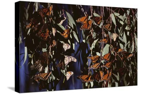 Monarch Butterflies-DLILLC-Stretched Canvas Print