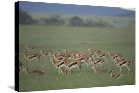 Thomson's Gazelle-DLILLC-Stretched Canvas Print