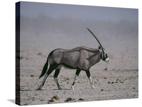Oryx Gazella Beisa-DLILLC-Stretched Canvas Print