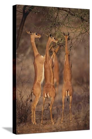 Gerenuk Feeding on Acacia Trees-DLILLC-Stretched Canvas Print