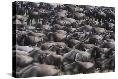 Wildebeest-DLILLC-Stretched Canvas Print