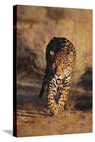 Jaguar-DLILLC-Stretched Canvas Print