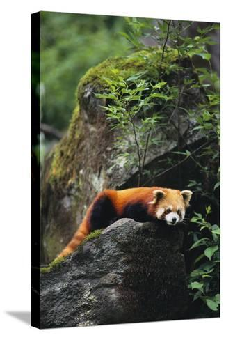 Red Panda Resting on Rock-DLILLC-Stretched Canvas Print