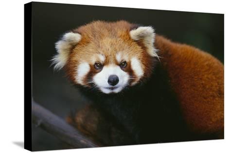 Red Panda-DLILLC-Stretched Canvas Print