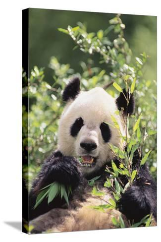 Giant Panda-DLILLC-Stretched Canvas Print
