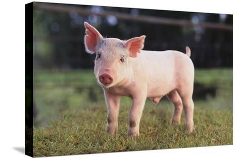 Yorkshire Pig on Grass-DLILLC-Stretched Canvas Print