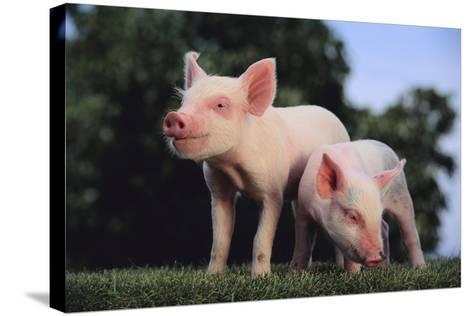Two Yorkshire Pigs-DLILLC-Stretched Canvas Print