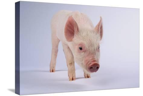 Yorkshire Pig-DLILLC-Stretched Canvas Print