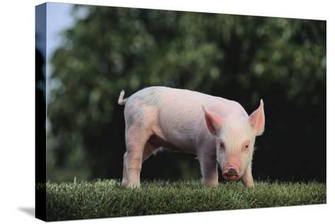 Yorkshire Pig-DLILLC-Stretched Canvas Print