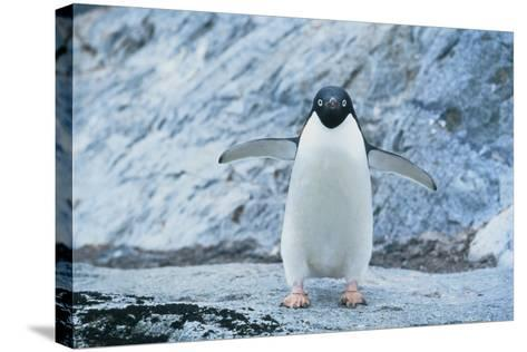 Fearless Adelie Penguin-DLILLC-Stretched Canvas Print