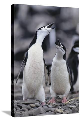 Young Chinstrap Penguins-DLILLC-Stretched Canvas Print