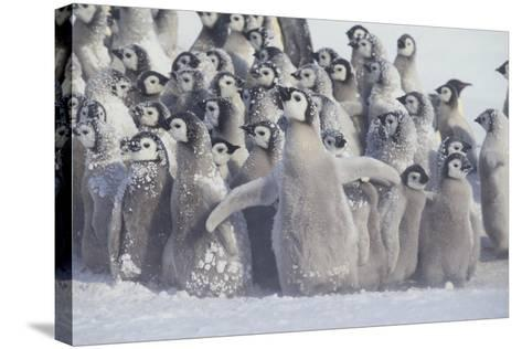 Young Emperor Penguins Covered in Snow-DLILLC-Stretched Canvas Print