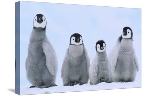 Young Emperor Penguins-DLILLC-Stretched Canvas Print