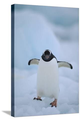 Gentoo Penguin Running-DLILLC-Stretched Canvas Print