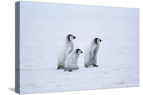 Young Emperor Penguins-DLILLC-Stretched Canvas Print
