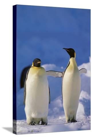 King Penguins-DLILLC-Stretched Canvas Print