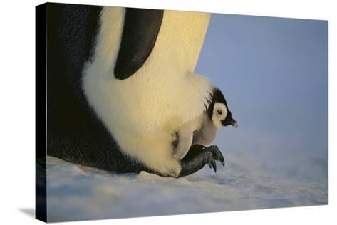 Emperor Penguin Protecting Offspring from the Cold-DLILLC-Stretched Canvas Print