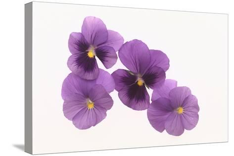 Pansies-DLILLC-Stretched Canvas Print