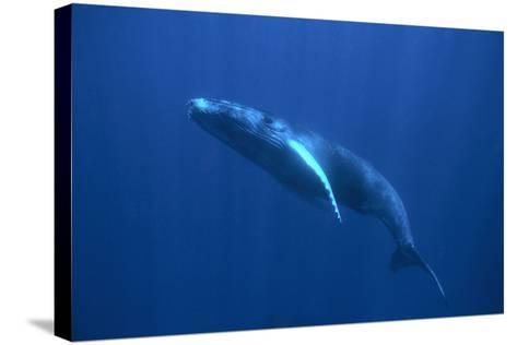 Humpback Whale-DLILLC-Stretched Canvas Print
