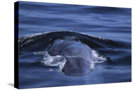 Blue Whale's Back-DLILLC-Stretched Canvas Print