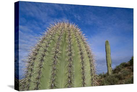 Saguaro Cactus-DLILLC-Stretched Canvas Print