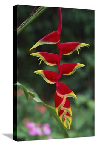 Hanging Heliconia-DLILLC-Stretched Canvas Print