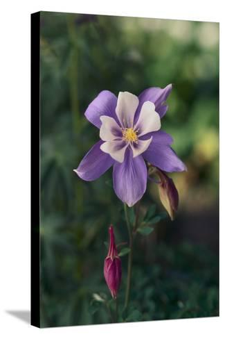 Columbine-DLILLC-Stretched Canvas Print