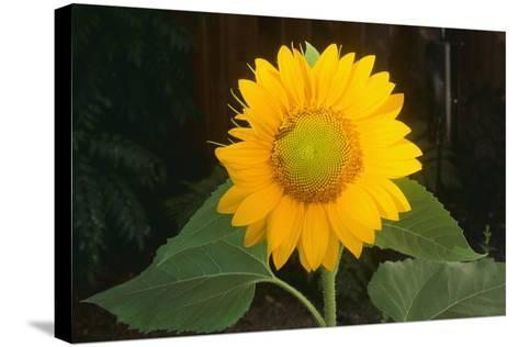 Sunflower-DLILLC-Stretched Canvas Print