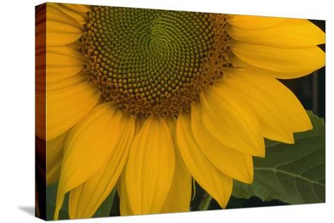 Sunflower-DLILLC-Stretched Canvas Print
