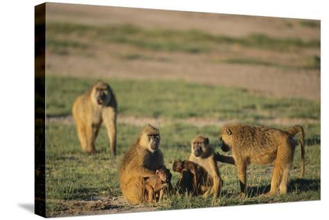 Baboon Family-DLILLC-Stretched Canvas Print