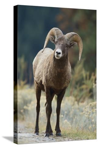 Bighorn Sheep on a Trail-DLILLC-Stretched Canvas Print