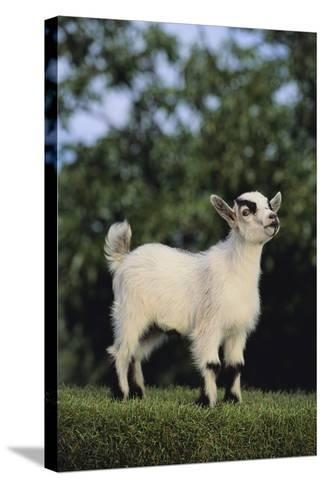 Pygmy Goat-DLILLC-Stretched Canvas Print