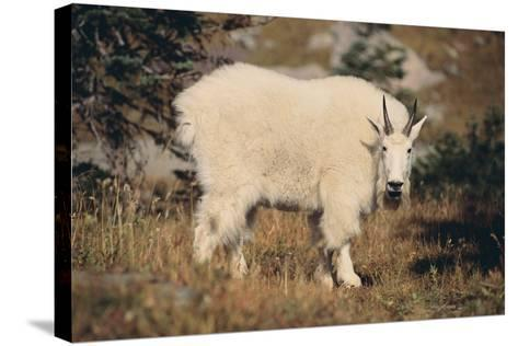 Mountain Goat-DLILLC-Stretched Canvas Print