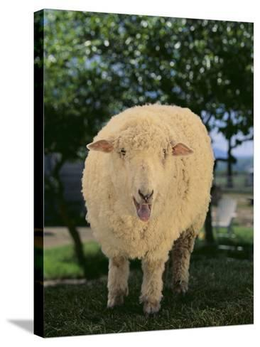 Whitefaced Woodland Sheep-DLILLC-Stretched Canvas Print