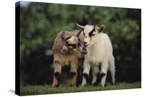 Pygmy Goats-DLILLC-Stretched Canvas Print