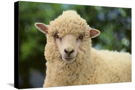 Whitefaced Sheep-DLILLC-Stretched Canvas Print