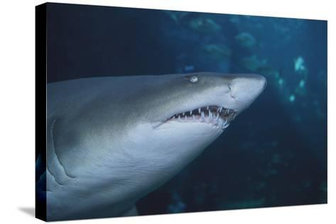 Ragged Tooth Shark-DLILLC-Stretched Canvas Print