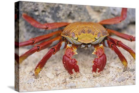 Sally Lightfoot Crab-DLILLC-Stretched Canvas Print