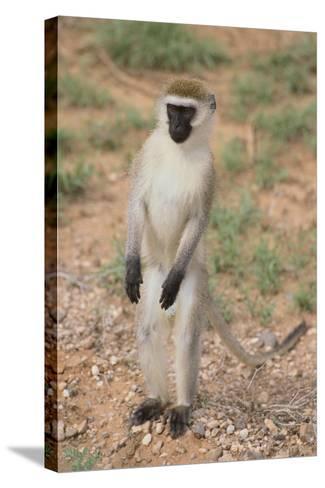 Vervet Monkey-DLILLC-Stretched Canvas Print