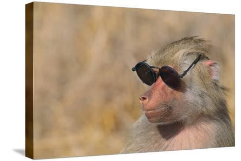 Baboon in Sunglasses-DLILLC-Stretched Canvas Print