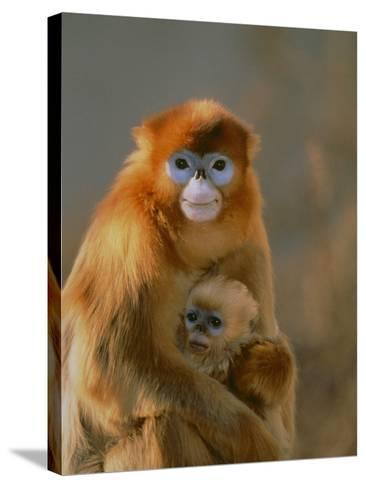 Sichuan Golden Monkey and Baby-DLILLC-Stretched Canvas Print