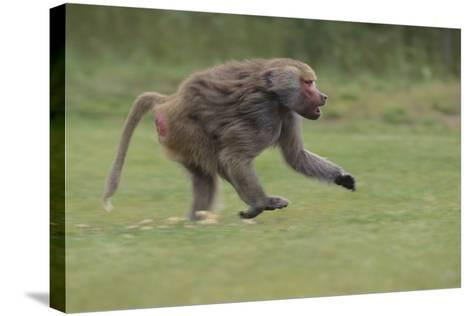 Running Baboon-DLILLC-Stretched Canvas Print