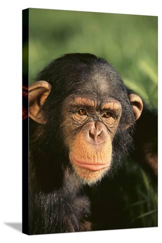 Chimpanzee-DLILLC-Stretched Canvas Print