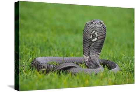 Cobra-DLILLC-Stretched Canvas Print