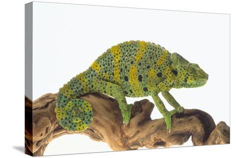Meller'schameleon-DLILLC-Stretched Canvas Print